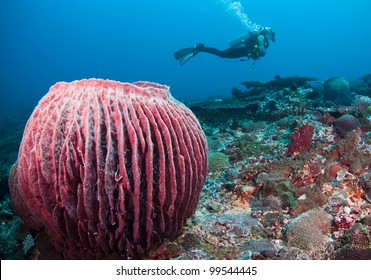 Female diver swimming behind a large barrel sponge, at Bali, Indonesia