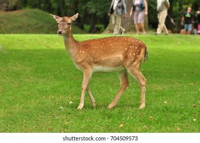 Female - doe fallow deer on green background