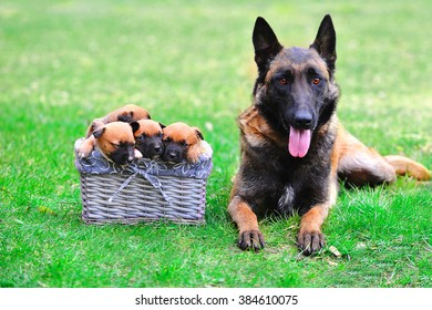 female dog of belgian shepherds malinois  with puppies