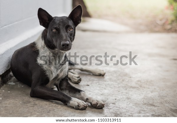 The female dog black and white skinny being sick ,Homeless dog,Stray dog,Vagrant dog in Thailand,Stray  dog Relax on floor concrete look forward with sad eyes and looking for a house.