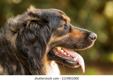 female Dog Hovawart, in detail