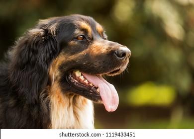 female Dog Hovawart, portrait