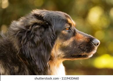 female Dog Hovawart unusual coat color