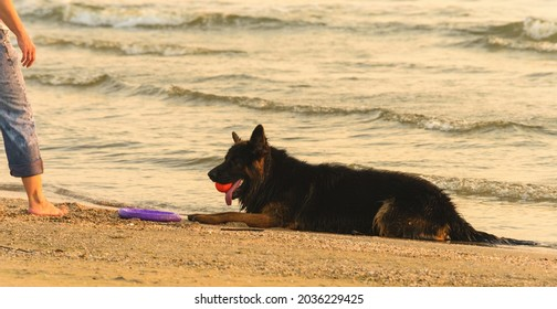 female dog owner with his long-haired German Shepherd at sea beach
