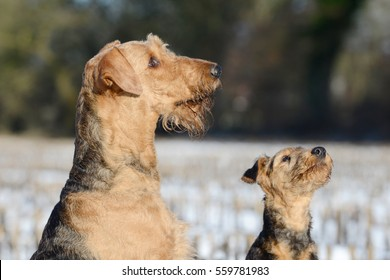 female dog and puppy airedale   in the snow