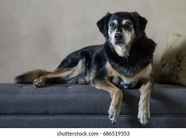 Female dog sits elegantly on a sofa