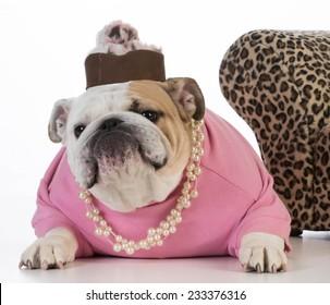 female dog wearing clothing on white background - english bulldog