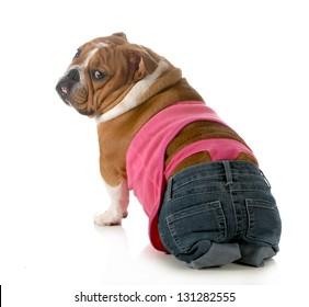 female dog wearing pink thong underwear isolated on white background - english bulldog
