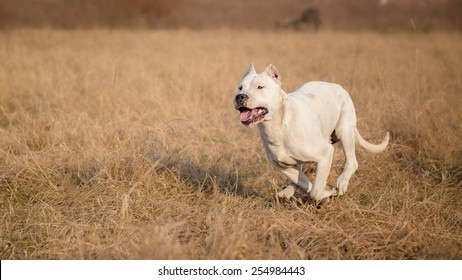 Female Dogo Argentino in run