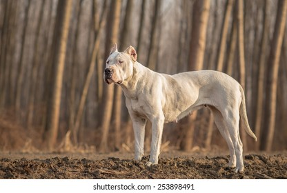 Female Dogo Argentino in wood