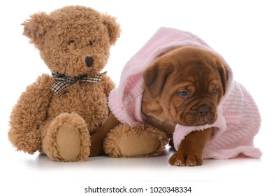 female dogue de bordeaux puppy wearing pink pajamas on white background