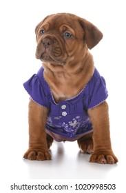 female dogue de bordeaux puppy wearing purple shirt on white background