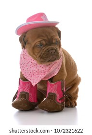 female dogue de bordeaux puppy cowgirl on white background