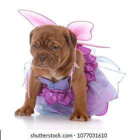 female dogue de bordeaux puppy wearing fairy costume on white background
