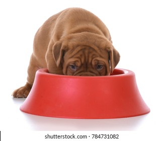 female dogue de bordeaux puppy eating out of a red dog dish on white background