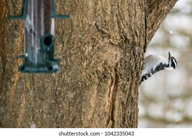A female Downy Woodpecker climbs up a tree.  A bird feeder hangs in the foreground.