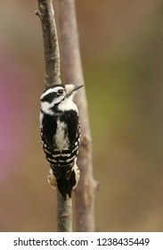 Female Downy Woodpecker Perched on Branch
