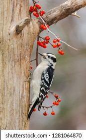 A female Downy Woodpecker ( Picoides pubescens) clinging to a dead tree with a Bittersweet vine and berries.