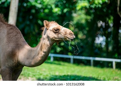 Female dromedary or Arabian camel (Chordata: Mammalia: Artiodactyla: Camelidae: Camelus dromedarius) eating a green plant isolated with soft green background inside the zoo cage, during the day