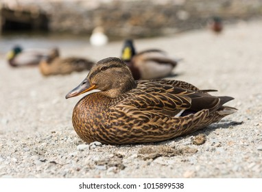 A female duck amongst a team of ducks, with a shallow depth of field.