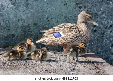 Female Duck with ducklings