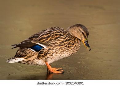 Female Duck standing on ice in wonderful light