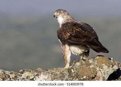 Female of Bonelliâ??s eagle on a rock. Aquila fasciata