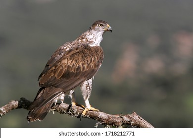 Female of Bonelli´s Eagle photographed in the early morning light, eagles