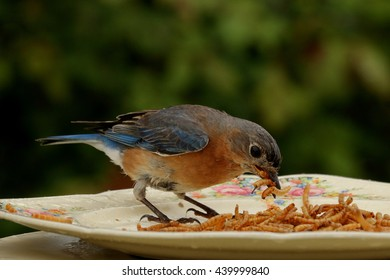 Female Eastern Bluebird collects a beak full of meal worms at the feeder to take to her nestlings.