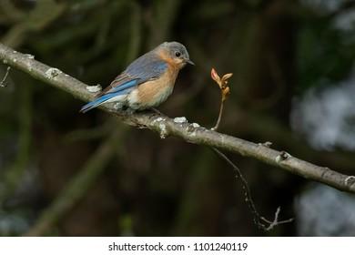 Female Eastern Bluebird perched on a branch. Ashbridges Bay Park, Toronto, Ontario, Canada.