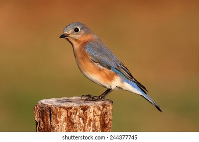 Female Eastern Bluebird (Sialia sialis) on a perch with a colorful background
