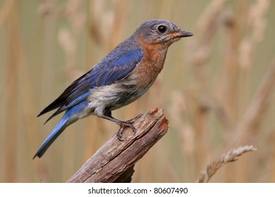 Female Eastern Bluebird (Sialia sialis) on a perch with a background of weeds