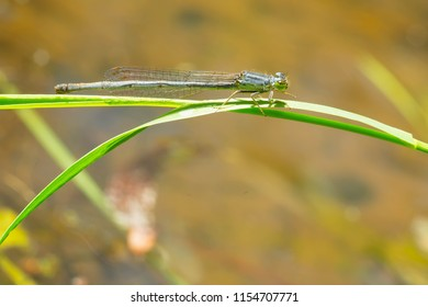 Female Eastern Forktail Damselfly perched on a blade of grass. Taylor Creek Park, Toronto, Ontario, Canada.