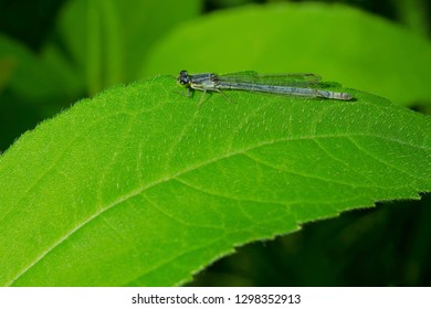 Female Eastern Forktail Damselfly perched on a leaf. Todmorden Mills Park,  Toronto, Ontario, Canada.