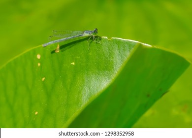 Female Eastern Forktail Damselfly perched on a lily pad. Don Valley Brickworks Park, Toronto, Ontario, Canada.