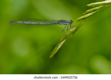 Female eastern Forktail Damselfly perched on a grass seed head. Taylor Creek Park, Toronto, Ontario, Canada.