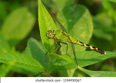 Female Eastern Pondhawk Dragonfly perched on a leaf. Also known as a Common Pondhawk. High Park, Toronto, Ontario, Canada.