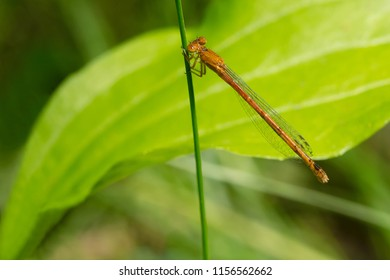 Female Eastern Red Damsel Damselfly perched on a blade of grass. Taylor Creek Park, Toronto, Ontario, Canada.