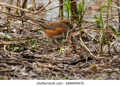 Female Eastern Towhee on the wet ground looking for a meal. Ashbridges Bay Parh, Toronto, Ontario, Canada.