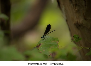 A female Ebony Jeweling Damselfly can be seen perching on a leaf just off the banks of a nearby creek.  It can be identified as a female by the white tips on her wings which males do not have.