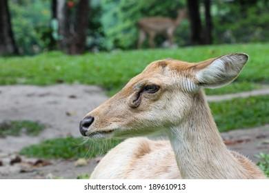 Female Eld's deer