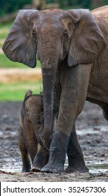 Female elephant with a baby. Central African Republic. Republic of Congo. Dzanga-Sangha Special Reserve.  An excellent illustration.