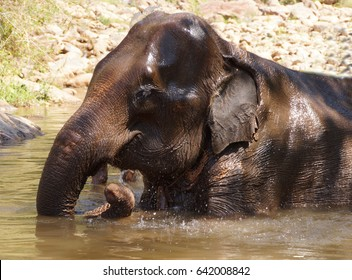 Female elephant enjoys her daily bath,  Myanmar (Burma)