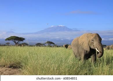 Female elephant with Mount Kilimanjaro in the background