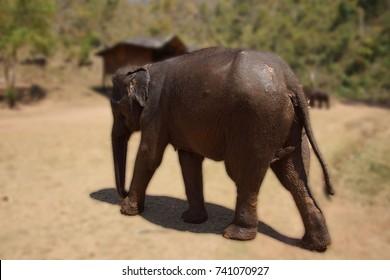 Female elephant returns from her daily bath,  Elephant conservation camp near Kalaw Myanmar (Burma)