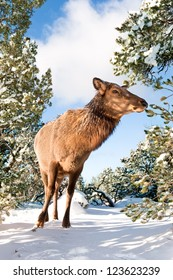 A female elk discovered along the rim in the Grand Canyon in Arizona during a snowy winter day of hiking.