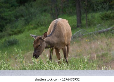 Female Elk eating grass along the road at Jasper National Park Alberta Canada