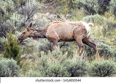 A female elk grazes through sagebrush at the north end of Yellowstone Park.