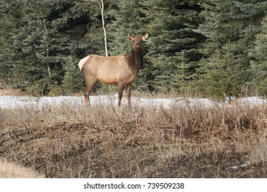 Female Elk standing in the grass. Elkford, British Columbia, Canada.