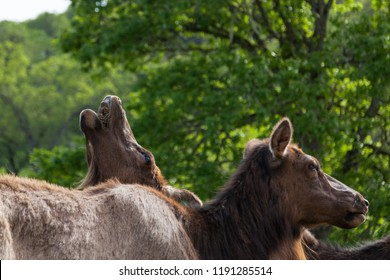 A female elk tilting her head back to eat food pellets while standing behind a herd mate.
